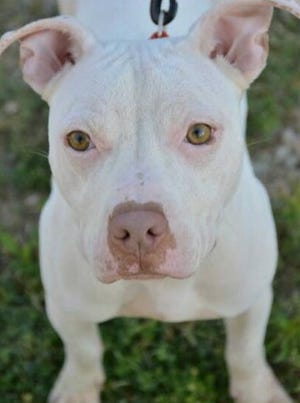 Kisska, a female pit bull adopted from the It Takes a Village shelter in Evansville about seven years ago, is currently at an animal shelter in Los Angeles, Calif.