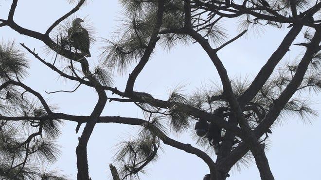 Offspring of popular webcam birds dies