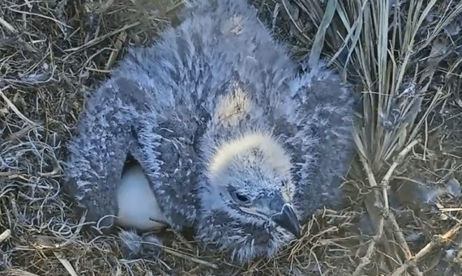 The eaglet born to Harriet and M14 in the North Fort Myers nest has died. A notice on the Southwest Florida Eagle Cam site announced the death Wednesday.