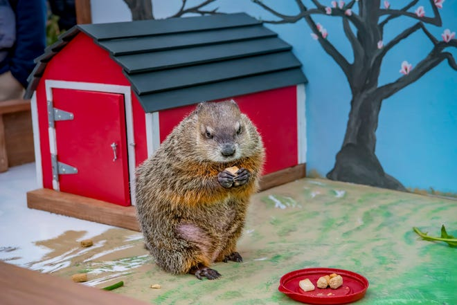 Gordy the Groundhog enjoys a treat during the Milwaukee County Zoo's 2019 Groundhog Day celebration.