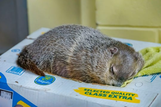 Gordy, the Milwaukee County Zoo's nearly-two-year-old groundhog, loves relaxing on his cardboard box with a baby blanket.