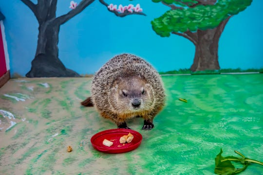 Gordy emerges during the Milwaukee County Zoo's 2019 Groundhog Day celebration. According to tradition, if he doesn't see his shadow, there will be an early spring.