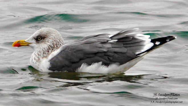 The lesser black-backed gulls visit the Blue Water Area in the winter.