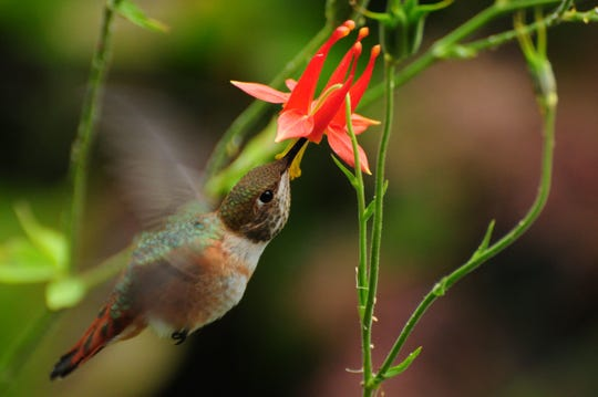 Insects and hummingbirds get nectar from the native columbine (Aquilegia formosa).