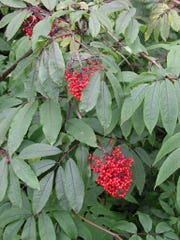 Red elderberry (Sambucus species).