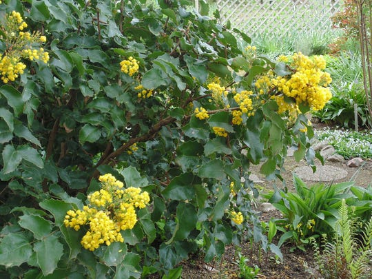 Oregon grape (Mahonia) is a beautiful shrub that blooms bright yellow flowers in late winter.
