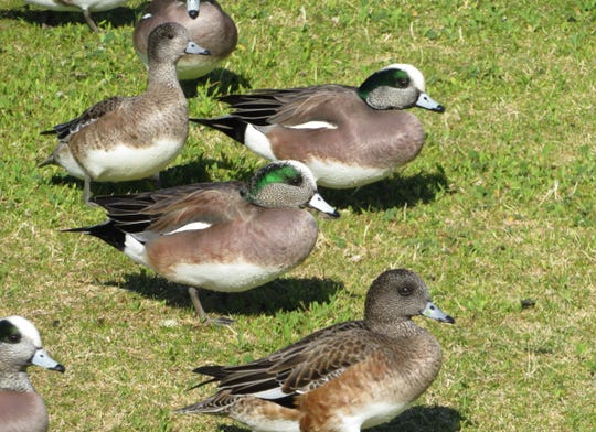 While traveling last January, we were surprised to find hundreds of American widgeon wintering in the middle of Phoenix.
