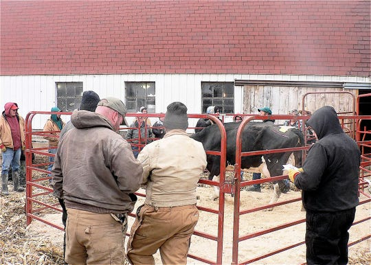The cows are often sold at auction but continue milking in a new barn.