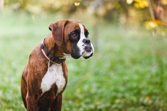 With their short muzzles, boxers are prone to Brachycephalic Airway Obstruction Syndrome, which can make it difficult for them to breathe in high temperatures and at high altitudes.