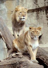 The Brookfield Zoo's African lions Isis, front, and Zenda both have died this month.