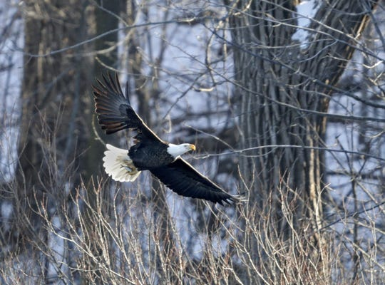 An eagle soars above the Fox River near Lutz Park in Appleton in 2017.