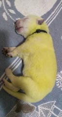 "Little ""Hulk,"" a Canton puppy born lime green on Jan. 10, is looking more like an Easter peep on Jan. 16. ""He looks bright yellow with a hint of the green,"" human mom Shana Stamey told the Citizen Times."