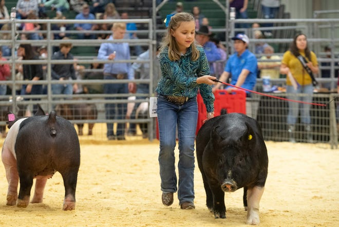 A 4-H student leads her market swine as it is judged during the Nueces County Junior Livestock Show at the Richard M. Borchard Regional Fairgrounds on Thursday, Jan. 16, 2020.