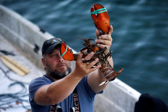 FILE - In this Aug. 24, 2019, file photo, a dealer at Cape Porpoise holds a 3 1/2 pound lobster in Kennebunkport, Maine.