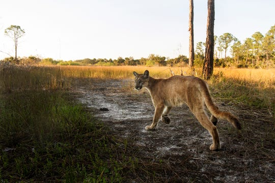 A Florida panther strolls past a camera trap set up at the Corkscrew Regional Ecosystem Watershed  at 4:15 p.m.  on January 15, 2019. Wildlife biologists believe this is the mother of a pair of kittens that are now being raised at ZooTampa at Lowry Park. It is believed that this panther had the kittens on CREW lands near Pepper Ranch. She was monitored with game cameras and it was noticed that she was having an issue walking. She was captured and had to be eventually euthanized because she was diagnosed with a neurological condition that is affecting some of the big cats. Thew kittens are not showing signs of the condition but will spend the rest of their lives in captivity. They will eventually be housed at the White Oak Conservation facility.