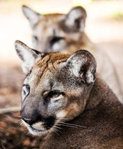 Over the last several months, ZooTampa at Lowry Park in Tampa has been raising a pair of male Florida panther kittens. The kittens ended up at the zoo after their mother had to be euthanized due to a neurological disorder that has been seen in the large cats and some bobcats. The family is from the CREW lands near Pepper ranch. They were being monitored by numerous game cameras in the area. The panthers will remain in captivity and will be placed at the White Oak Conservation Center.