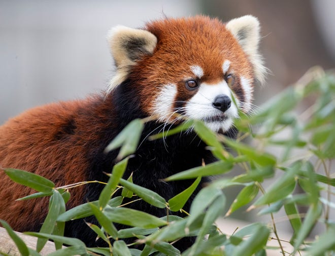 Xing, a 4-year-old Styani Red Panda, explores his enclosure Thursday, Jan. 16, 2020, in the China exhibit at the Memphis Zoo.