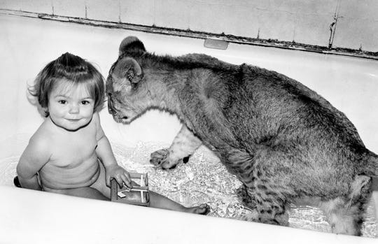 Cats aren't supposed to like water, but the unpredictable Mai Tai sometimes surprises everybody by leaping into the tub with his favorite playmate Jan. 18, 1973, who doesn't seem to mind a bit. Aili Peterson, 15 months old, is growing up with the lion at the Tennessee Game Farm, owned by her grandparents.