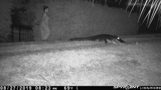 Motion-activated camera of Ibis Property Owners Association purportedly shows Irma Acosta Arya with an alligator she was feeding.