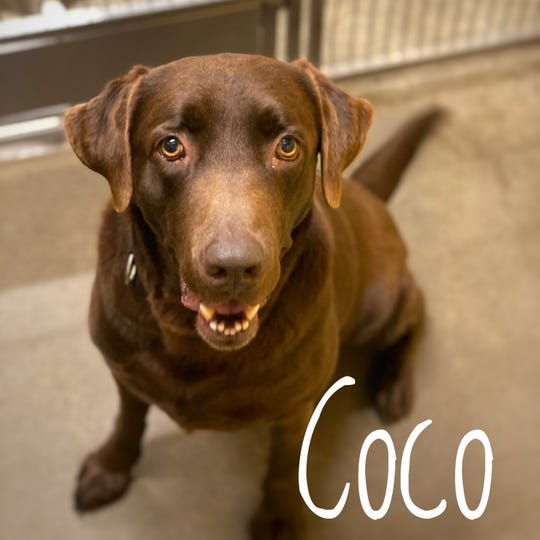 Coco is a huge, 80-pound, bundle of chocolate lab goodness. He came to us after his owner passed away, and his story resonated with one of our amazing donors, so they already paid his adoption fee.