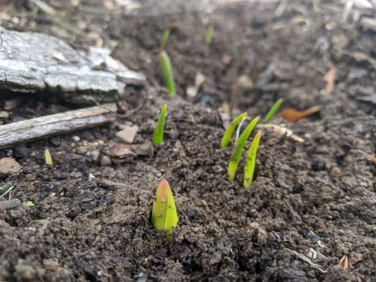 Tulips try to grow in Abbey's yard in January. Abbey makes public her beef with the inconsistent weather we've been experiencing this winter.
