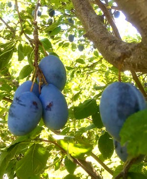 'Stanley' plums at the NMSU Agricultural Science Center at Los Lunas in September 2018.