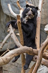 Alba is shown in her habitat at the San Diego Zoo.