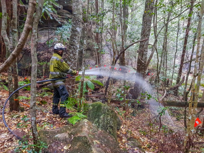 In this photo taken in early January 2020, and provided on Thursday, January 16, 2020 by the National Park and Wildlife Service of New South Wales, NSW National Park and Wildlife Service personnel use hoses against fires to moisten the forest floor near the Wollemi pines in Wollemi National Park, New South Wales, Australia. Specialized firefighters have saved the last remaining wild forest in the world from a prehistoric tree from forest fires that razed forests west of Sydney.