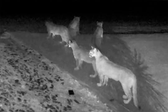 This Jan. 13 photo from video provided by Chris Bruetsch shows five California mountain lions seen together on home surveillance video at Breutsch's home in Pioneer, Calif.