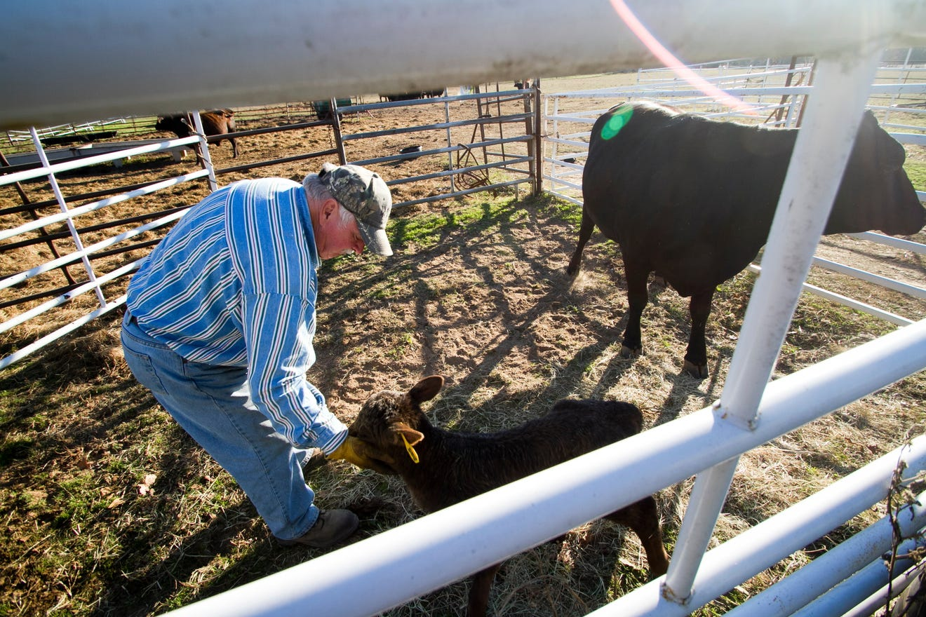 Texas Drought Forcing Ranchers to Cull Herds