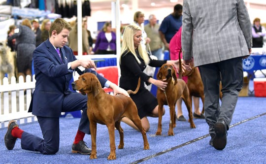 Brandi has won multiple Best in Shows, is the 19th Best Hound in the US and number one best Redbone Coonhound in the country, both in 2019.