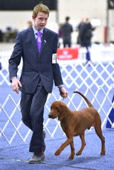 Cody Wright, 14, shows 'Tucker,' an 11-month-old male Redbone Coonhound, in the open class as he is a puppy.