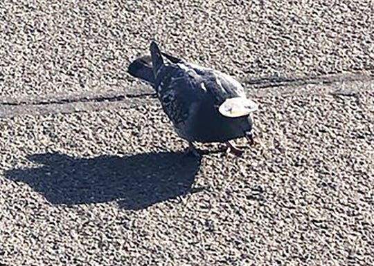 This Wednesday, Jan. 15, 2020, photo provided by Sabra Newby shows a pigeon wearing a tiny sombrero in Reno, Nev. Reno City Manager Sabra Newby tweeted about the bird, saying it's quirky and fun but still inhumane, KOLO-TV reported. It is the first known sighting of hat-wearing birds in the region, Washoe County Regional Animal Services officials said. The sighting comes after a pigeon in Las Vegas with a miniature cowboy hat glued to its head died earlier this week, animal officials said.