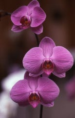 In The Garden Moth Orchid Adds Color To Indoors Gardening Advice
