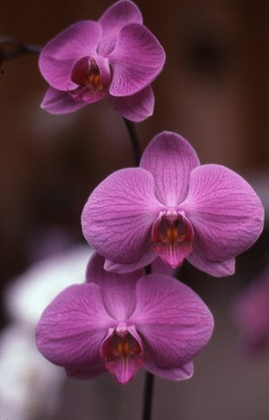 Among orchids, a moth orchid is the easiest to grow and flower. They come in many colors and flowers bloom for a long time.