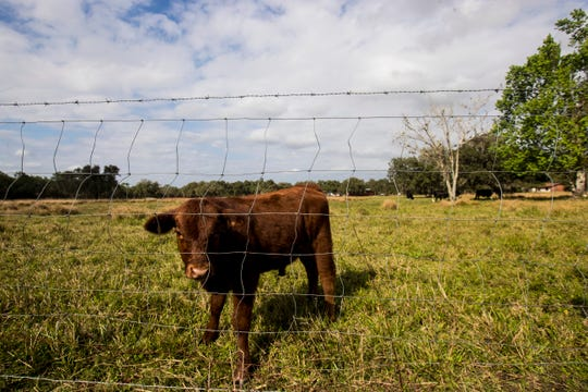 Cattle graze on properties just off of State Road 80 east of I-75 moves on Friday Jan 17, 2020. If a proposed toll road is built in the area, some are concerned how it will affect the rural way of life.