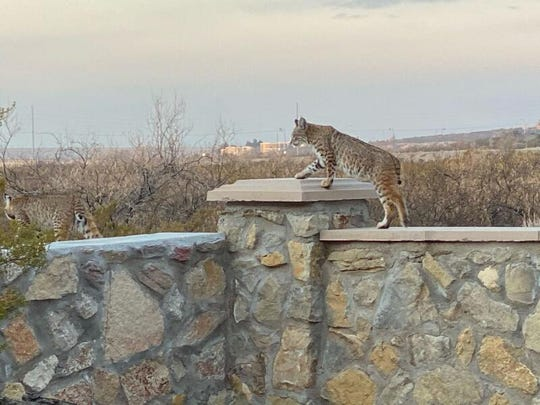 A pair of bobcats were spotted walking along a back wall early Friday morning in a Las Cruces man's backyard near Sonoma Ranch.