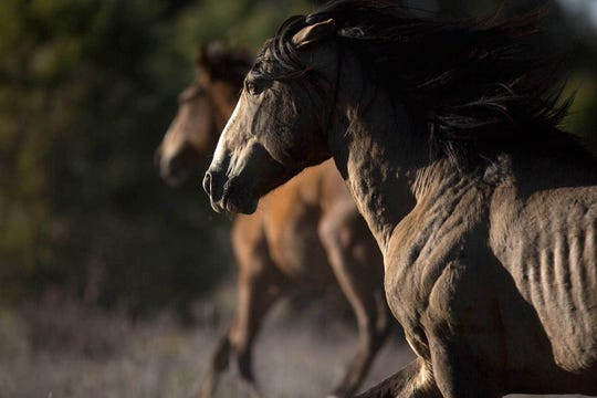 Pat Shannahan/The Republic A wild horse runs on U.S. Forest Service land near the Mogollon Rim in Arizona. A wild horse runs on U.S. Forest Service land near the Mogollon Rim in Arizona. Wildfire and drought have put the horses in competition with livestock and other wildlife in the region.