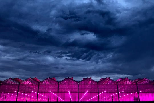 Copperstate Farms uses purple LED lights to grow marijuana in its greenhouse in Snowflake, Ariz.