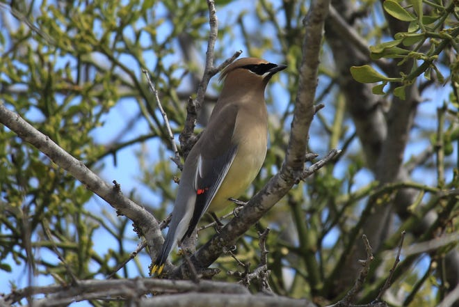During the winter months (generally December through March), huge flocks of boisterous cedar waxwings can be seen throughout the southern half of the US and Mexico.