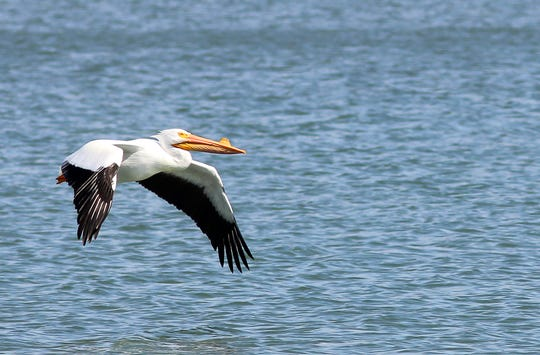 Harmful algae blooms can harm wildlife that use Lake Springfield, like white pelicans that devour fish from the lake during their spring migrations.