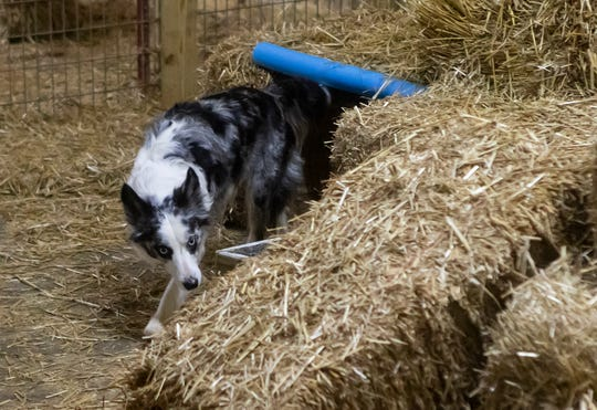 Karla Gracia's dog Mickey emerges from a tunnel while it searches for rat tubes during the master trial of the barn hunt event held at CT Dog Services in Downsville, La. on Jan. 16.