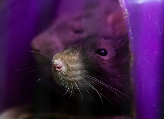 Rats for the barn hunt rest in their cage after the event held at CT Dog Services in Downsville, La. on Jan. 16. The rats are all well taken care of and are not abused during or after the event.