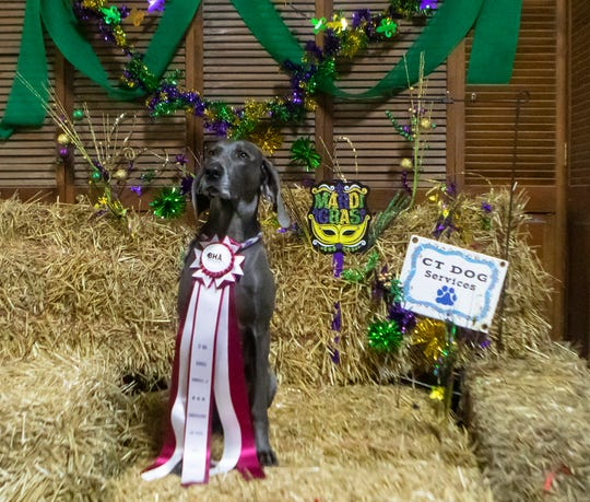 Christi Theriot's dog Q sits on the podium after winning the master trial of the barn hunt event held at CT Dog Services in Downsville, La. on Jan. 16