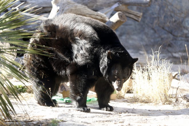 Maggie the bear enjoys her 15th birthday present on Jan. 18, 2020. The present was wrapped with a Fruit Roll Up, the box was stuck together with peanut butter and inside the package was nuts and berries in egg cartons. Maggie enjoys playing with the egg carts if they retain a food scent.