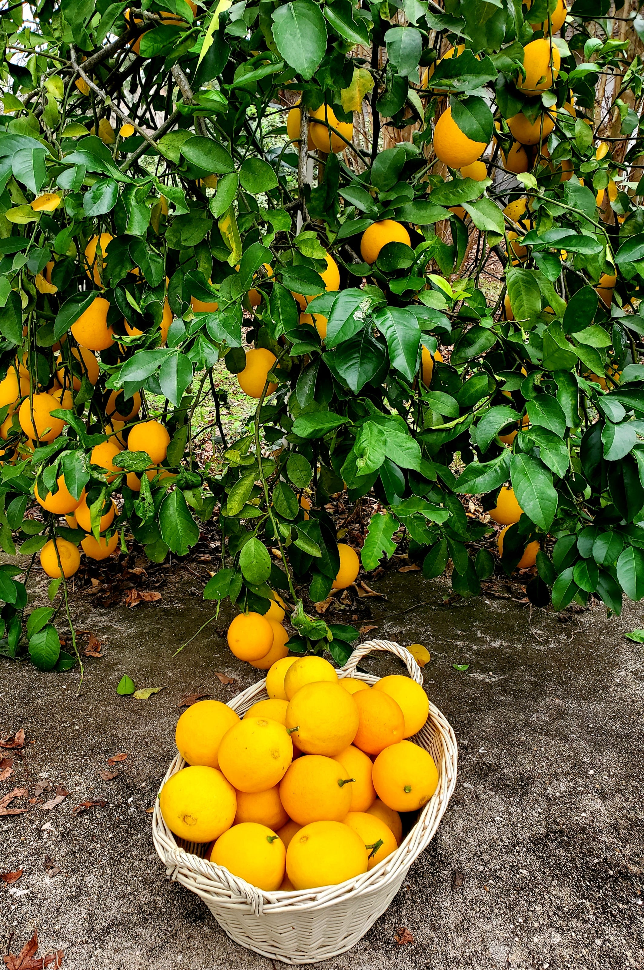 Do This To Protect Meyer Lemon Trees From Freezing Temperatures