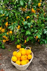 Even young Meyer lemon trees produce a large quantity of the juicy, softball-sized fruit.