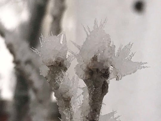 Ice crystals encrust the buds on this tree.