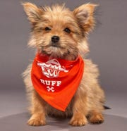 "Linus, a Yorkie-Pomeranian-Poodle mix, is about to make his television debut on Animal Planet's ""Puppy Bowl,"" an annual program that premieres on Super Bowl Sunday and shows puppies playing in a model stadium."