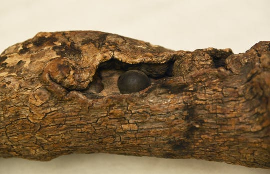 This tree branch features an embedded musket ball from the 3 days of the Battle of Gettysburg in 1863. The branch was brought back from the battlefield by a Michigan soldier.